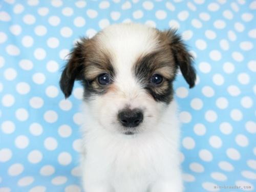 パピヨンの子犬(ID:1244711633)の3枚目の写真/更新日:2021-04-19