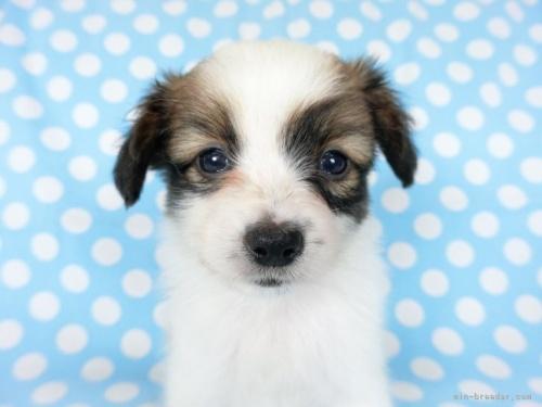 パピヨンの子犬(ID:1244711633)の4枚目の写真/更新日:2021-04-19