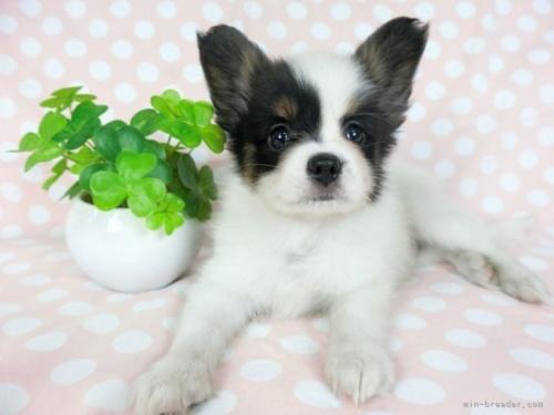 パピヨンの子犬(ID:1244711634)の2枚目の写真/更新日:2021-04-02
