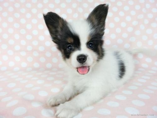 パピヨンの子犬(ID:1244711634)の3枚目の写真/更新日:2021-04-02