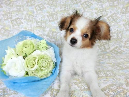 パピヨンの子犬(ID:1244711636)の2枚目の写真/更新日:2019-12-09