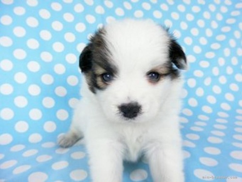 パピヨンの子犬(ID:1244711636)の3枚目の写真/更新日:2019-12-09