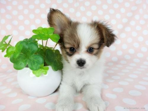 パピヨンの子犬(ID:1244711637)の2枚目の写真/更新日:2021-04-19