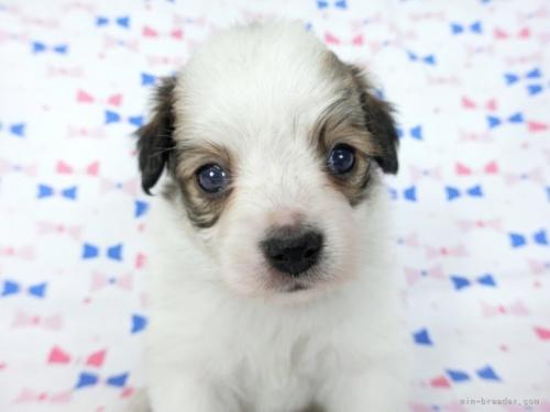 パピヨンの子犬(ID:1244711638)の3枚目の写真/更新日:2021-02-25