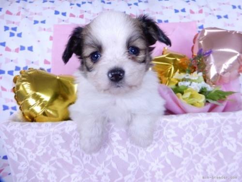 パピヨンの子犬(ID:1244711639)の2枚目の写真/更新日:2021-02-25