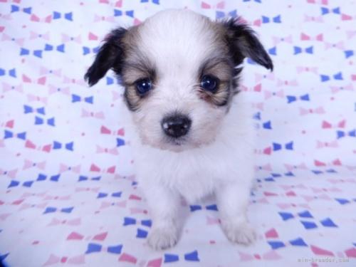 パピヨンの子犬(ID:1244711639)の3枚目の写真/更新日:2021-02-25