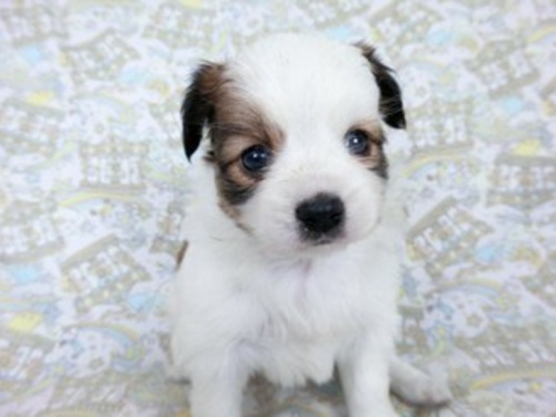 パピヨンの子犬(ID:1244711640)の2枚目の写真/更新日:2021-03-18