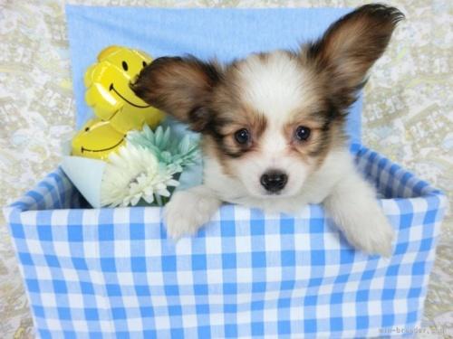パピヨンの子犬(ID:1244711642)の2枚目の写真/更新日:2021-05-12