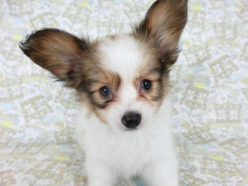 パピヨンの子犬(ID:1244711642)の3枚目の写真/更新日:2021-05-12