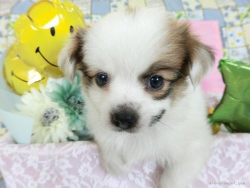 パピヨンの子犬(ID:1244711643)の2枚目の写真/更新日:2020-09-19