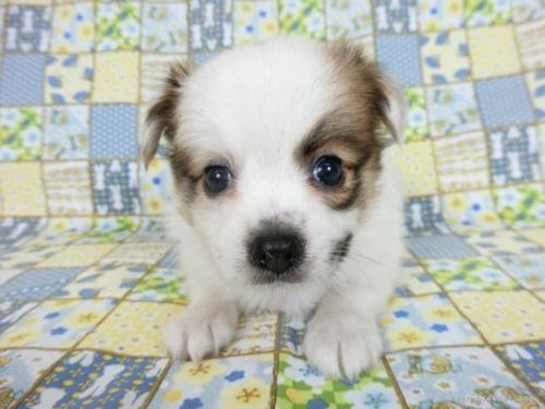 パピヨンの子犬(ID:1244711643)の3枚目の写真/更新日:2020-09-19