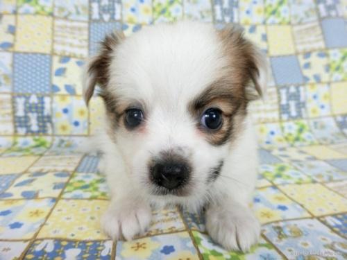 パピヨンの子犬(ID:1244711643)の4枚目の写真/更新日:2021-10-18