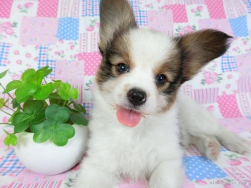 パピヨンの子犬(ID:1244711644)の2枚目の写真/更新日:2020-09-10