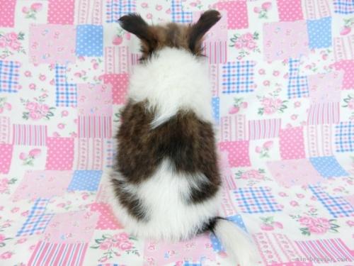 パピヨンの子犬(ID:1244711644)の3枚目の写真/更新日:2019-12-09
