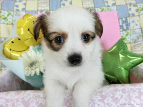 パピヨンの子犬(ID:1244711645)の2枚目の写真/更新日:2018-11-29
