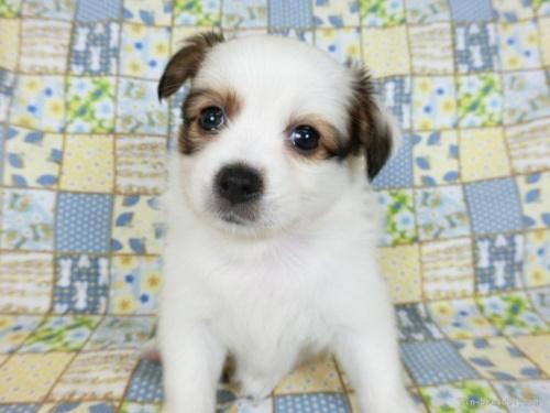 パピヨンの子犬(ID:1244711645)の3枚目の写真/更新日:2018-11-29