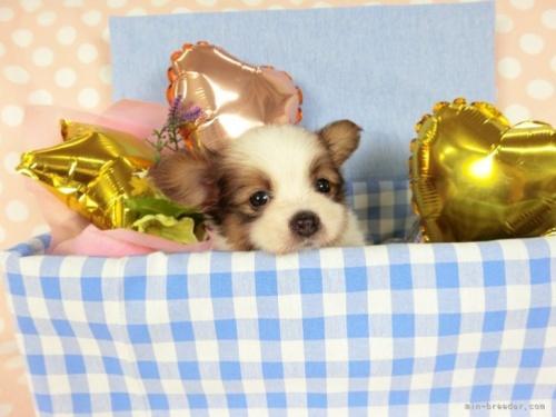 パピヨンの子犬(ID:1244711646)の2枚目の写真/更新日:2021-04-19