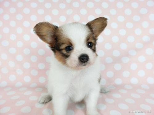 パピヨンの子犬(ID:1244711646)の3枚目の写真/更新日:2021-04-19