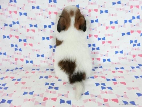 パピヨンの子犬(ID:1244711647)の3枚目の写真/更新日:2020-09-19