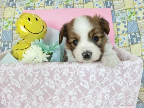 パピヨンの子犬(ID:1244711648)の2枚目の写真/更新日:2020-09-10