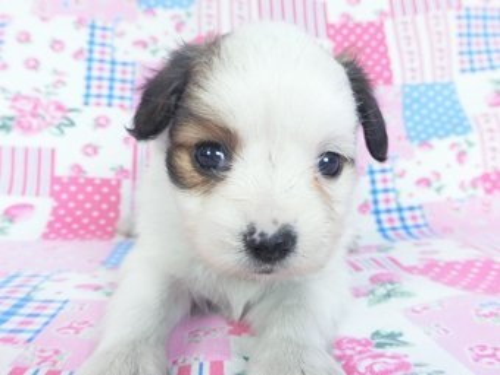 パピヨンの子犬(ID:1244711648)の3枚目の写真/更新日:2019-10-13