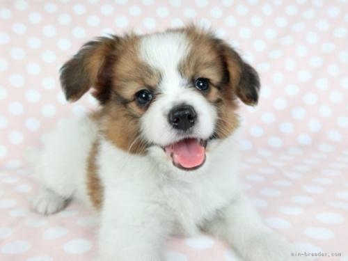 パピヨンの子犬(ID:1244711649)の2枚目の写真/更新日:2021-03-18