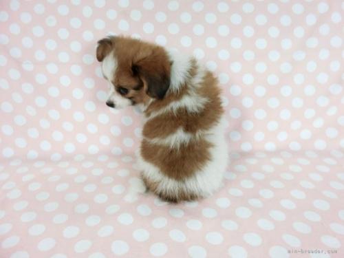 パピヨンの子犬(ID:1244711649)の3枚目の写真/更新日:2021-03-18