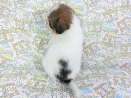 パピヨンの子犬(ID:1244711650)の2枚目の写真/更新日:2019-11-11