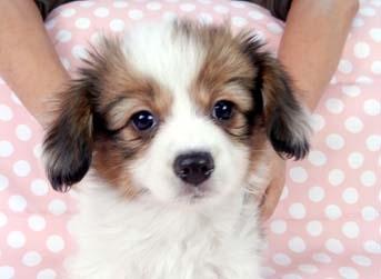 パピヨンの子犬(ID:1244711651)の2枚目の写真/更新日:2018-11-19