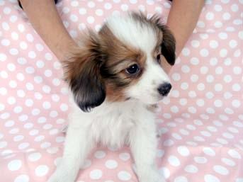 パピヨンの子犬(ID:1244711651)の3枚目の写真/更新日:2018-11-19