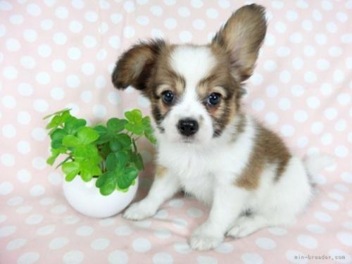 パピヨンの子犬(ID:1244711653)の2枚目の写真/更新日:2018-06-04