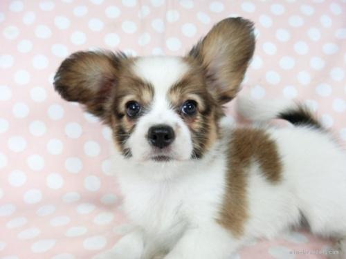 パピヨンの子犬(ID:1244711653)の3枚目の写真/更新日:2021-04-19