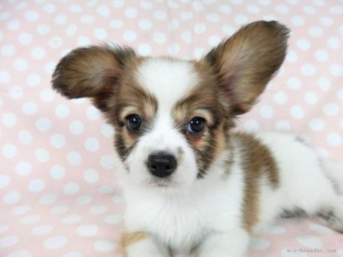 パピヨンの子犬(ID:1244711653)の4枚目の写真/更新日:2021-04-19