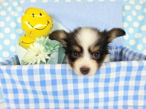 パピヨンの子犬(ID:1244711655)の2枚目の写真/更新日:2018-02-11