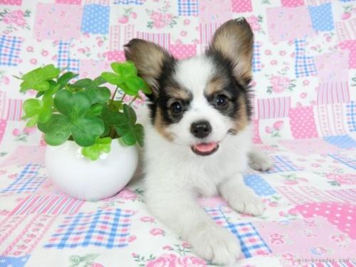 パピヨンの子犬(ID:1244711656)の2枚目の写真/更新日:2018-02-11