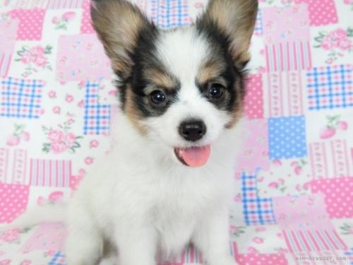 パピヨンの子犬(ID:1244711656)の3枚目の写真/更新日:2018-02-11