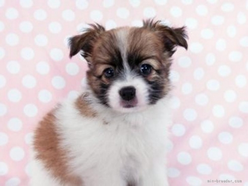 パピヨンの子犬(ID:1244711657)の2枚目の写真/更新日:2018-02-11