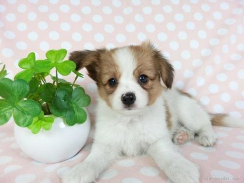 パピヨンの子犬(ID:1244711658)の2枚目の写真/更新日:2018-06-04
