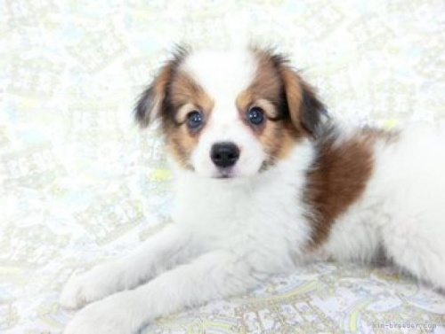 パピヨンの子犬(ID:1244711658)の3枚目の写真/更新日:2018-02-15