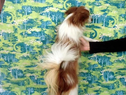 パピヨンの子犬(ID:1244711659)の2枚目の写真/更新日:2018-02-15