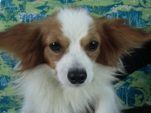 パピヨンの子犬(ID:1244711660)の1枚目の写真/更新日:2018-02-15