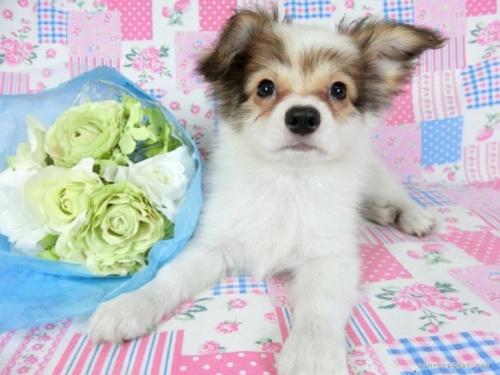 パピヨンの子犬(ID:1244711661)の2枚目の写真/更新日:2018-05-21