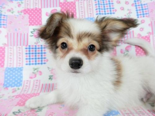 パピヨンの子犬(ID:1244711661)の3枚目の写真/更新日:2018-03-22