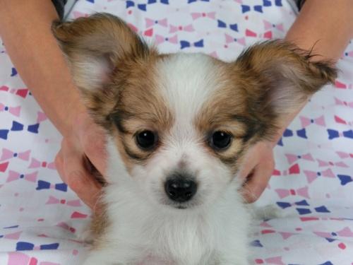 パピヨンの子犬(ID:1244711662)の1枚目の写真/更新日:2018-05-21