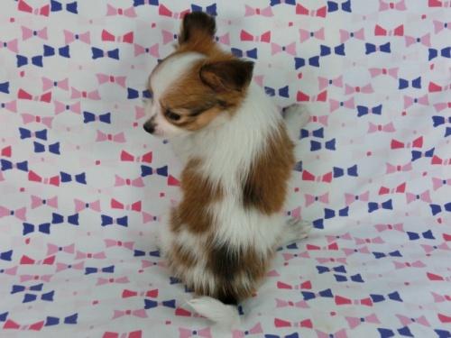 パピヨンの子犬(ID:1244711662)の2枚目の写真/更新日:2018-02-19