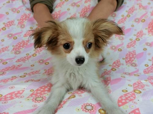 パピヨンの子犬(ID:1244711663)の1枚目の写真/更新日:2018-02-19