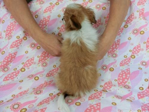パピヨンの子犬(ID:1244711663)の2枚目の写真/更新日:2018-02-19