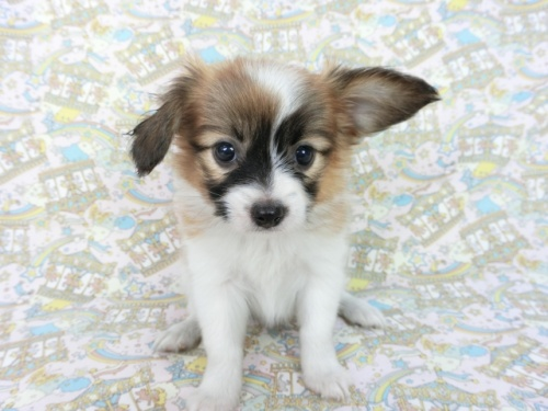 パピヨンの子犬(ID:1244711664)の1枚目の写真/更新日:2018-05-21