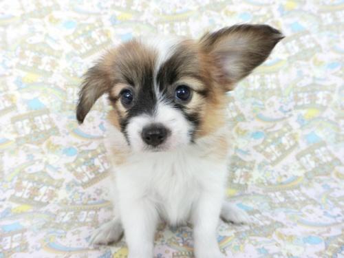パピヨンの子犬(ID:1244711664)の2枚目の写真/更新日:2018-02-19