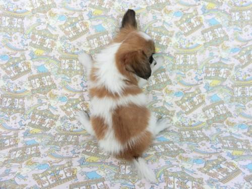 パピヨンの子犬(ID:1244711664)の3枚目の写真/更新日:2018-02-19